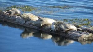 Sleepy seals